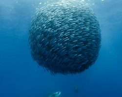 sardines_bait_ball_01_opt